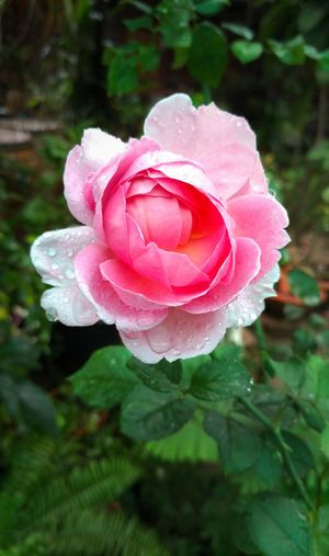 Rose Flower Pink Color Rose - Flower Freshness Wet Rain Drops Rose Collection Pink Flower Pink Rose English Rose Plant Drop Vintage Roses Petal Nature Fragility Flower Head Beauty In Nature Growth Close-up Focus On Foreground Wild Rose Water Day Outdoors