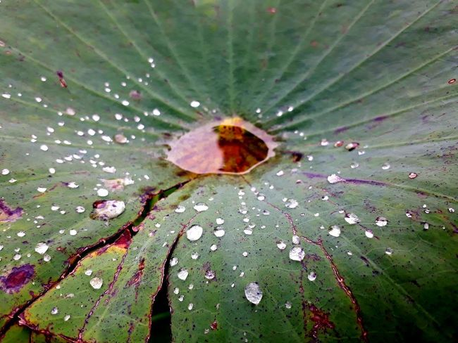 The water on the lotus leaves. Water Leaf Drop Close-up Green Color Web Spider Web Water Drop Prey Insect Rosé Trapped Spider Butterfly - Insect Caterpillar Grasshopper Praying Mantis Dragonfly Butterfly Bug Animal Leg Droplet Dew Arachnid Stamen Plant Life Arthropod Jumping Spider RainDrop