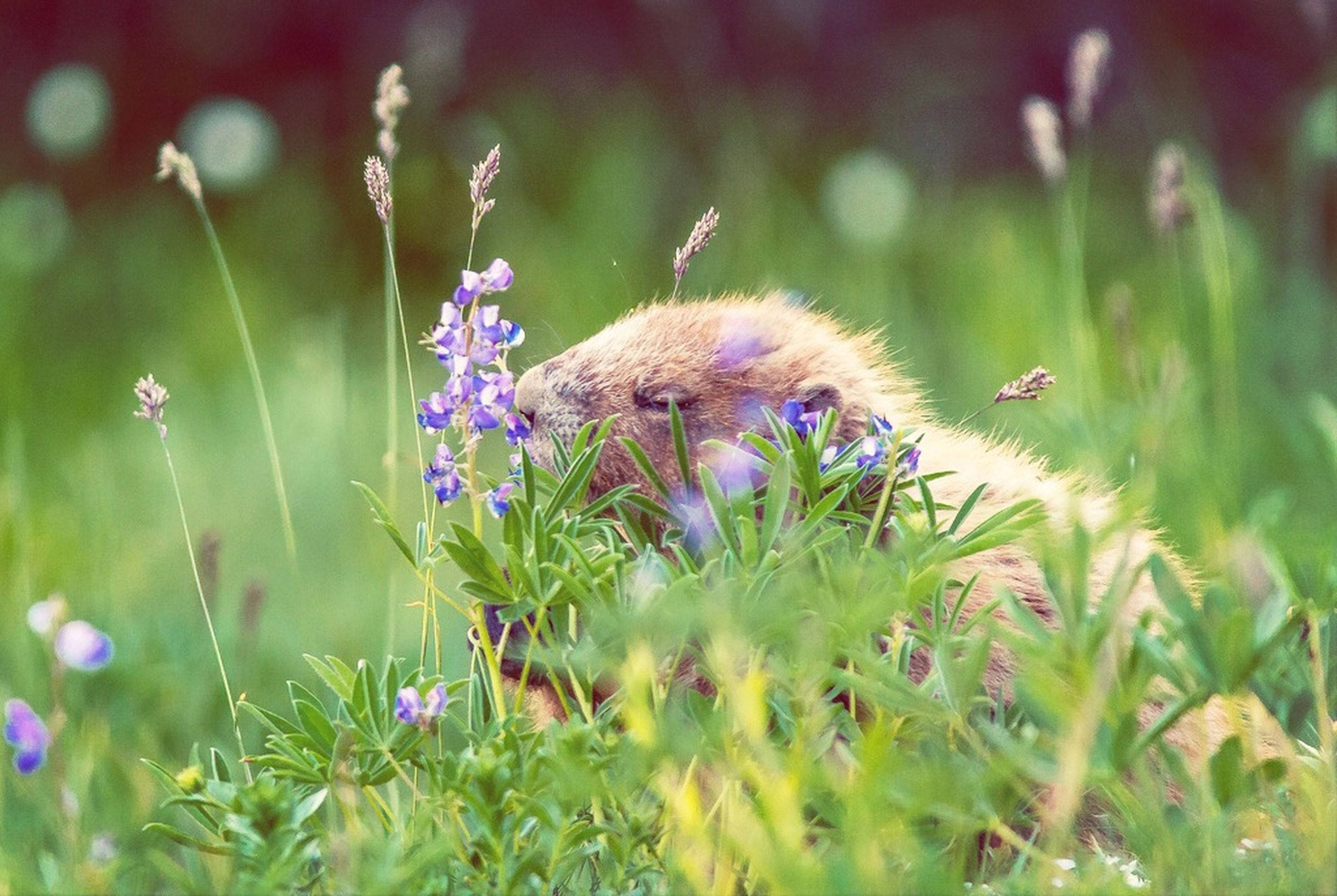 flower, growth, fragility, freshness, animal themes, plant, beauty in nature, one animal, focus on foreground, nature, selective focus, close-up, purple, animals in the wild, stem, green color, wildflower, wildlife, blooming, flower head