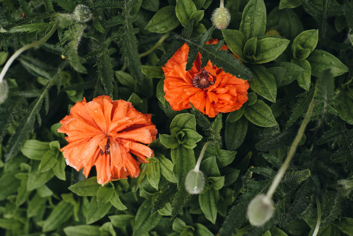 Buds Cuteness Green Color Natural Flower Fresh Orange Flower Poppy Poppy Flowers Red Flower Spring Flowers