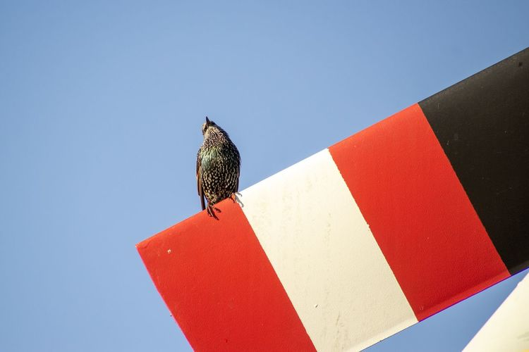 Starling bird on colorful perch with ad space