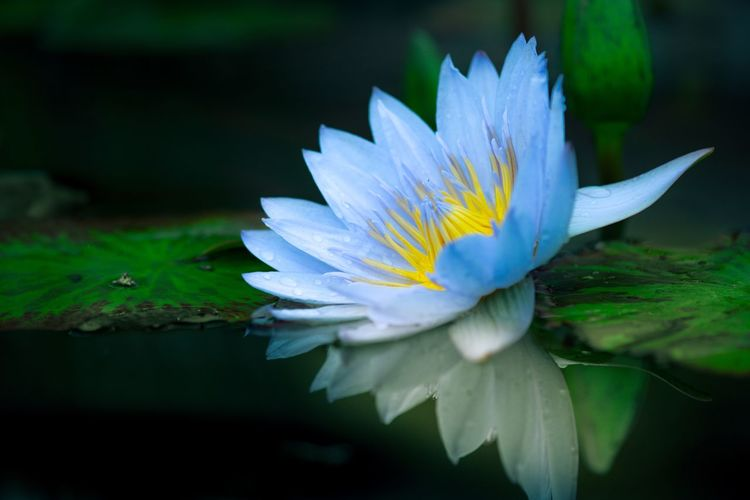 Flowering Plant Flower Plant Fragility Vulnerability  Freshness Petal Beauty In Nature Inflorescence Close-up Flower Head Growth Water Lily Water Leaf Nature Floating On Water Lake Pollen