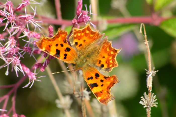 Animal Markings Animal Themes Animal Wildlife Animals In The Wild Beauty In Nature Butterfly - Insect Close-up Comma Comma Butterfly Day Flower Flower Head Focus On Foreground Fragility Freshness Insect Nature No People One Animal Outdoors Plant Pollination