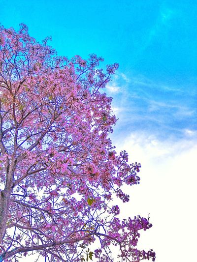 Full Bloom Tabebuia Rosea Pink Tecoma Tecoma Tree Malaysia Pink Blue Sky Flower Cherry Blossoms Malaysia Cherry Blossom Sakura Blossom Tecoma Blossom Malaysia Sakura Flower Tecoma Tecoma Flower Pixelated Technology Multi Colored Sky Close-up Blooming In Bloom Petal