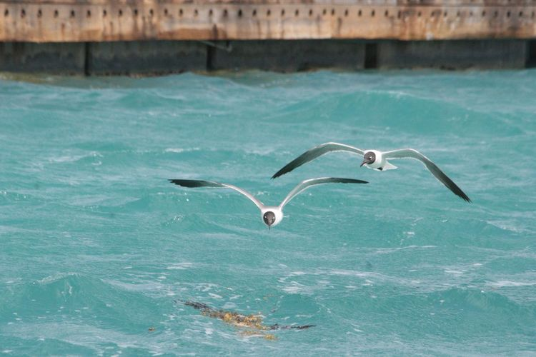 Black-Headed Gulls Flying Over Lake