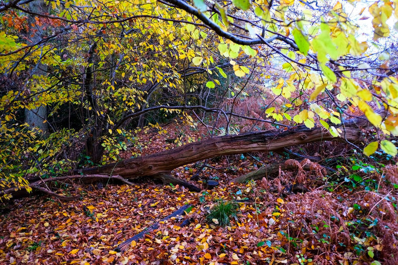 Autumn Autumn Colors Autumn Leaves Autumn Beauty In Nature Blocked Path Branch Change Close-up Day Forest Growth Leaf Maple Nature No People Outdoors Pathway Pathway In The Forest Scenics Tranquility Tree Tree Trunk