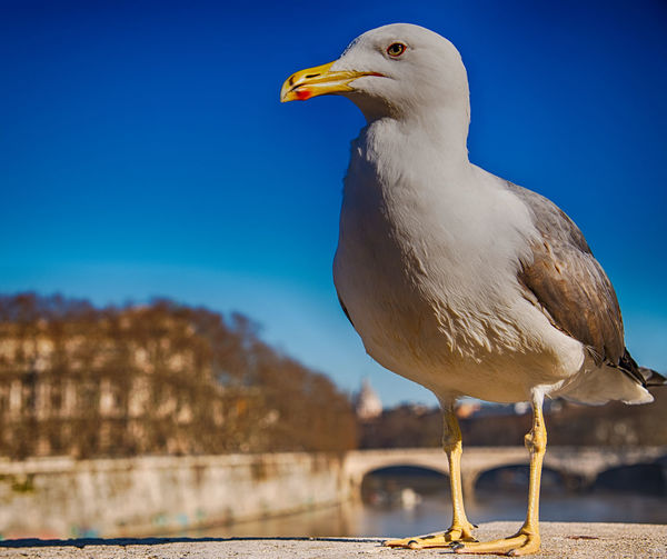 Close-up of seagull perching on rock against blue sky
