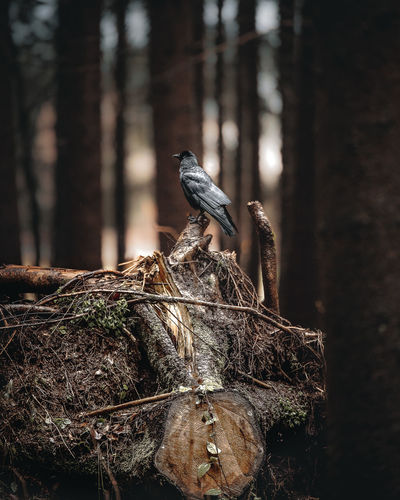 A crow sitting on a trunk beholding the world around him Bird Animal Wildlife Animals In The Wild Vertebrate Animal Animal Themes Tree Focus On Foreground One Animal Day Nature No People Animal Nest Plant Perching Close-up Selective Focus Outdoors Tree Trunk Wood - Material Bark Taking Photos Nature Crow