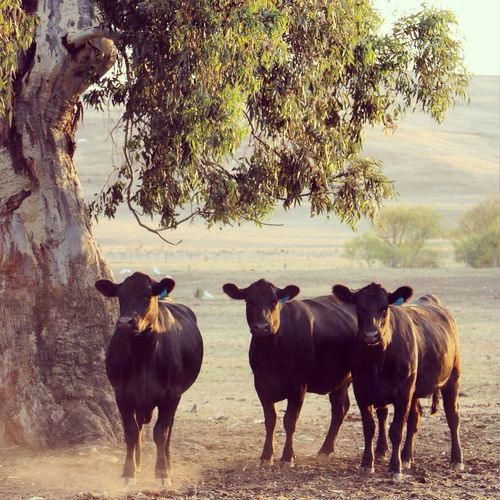 Nenaghpastoral Beautiful Light Cattle Anguscattle Australia