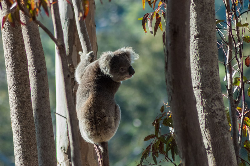 Koala bear on tree trunk