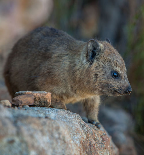 Animal Animal Themes Animal Wildlife Animals In The Wild Brown Close-up Dassie Day Focus On Foreground Looking Mammal Nature No People One Animal Outdoors Rock Rock - Object Rodent Selective Focus Vertebrate