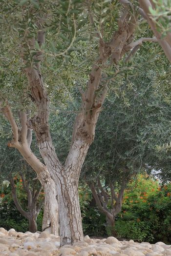 Israel Eilat Tropical Climate Olive Tree Plant Tree Growth Nature Day No People Green Color Beauty In Nature Land Outdoors Sunlight Tranquility Plant Part Tree Trunk Trunk Leaf Scenics - Nature