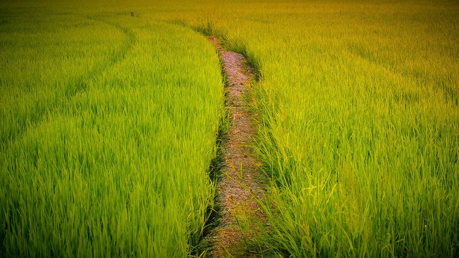 rice farm Rice Rice Paddy Rice - Cereal Plant Rice Field Rice - Food Staple Ricefield Ricefields Ricefield View Ricefarm Ricefarmer Plant Green Color Landscape Growth Rural Scene Grass Agriculture Tranquility No People Beauty In Nature Tranquil Scene Environment Crop  Land Scenics - Nature Nature Day Outdoors Trail Farm Field Footpath