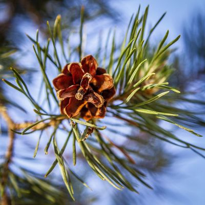 Plant Beauty In Nature Growth Close-up Nature Day No People Flower Fragility Focus On Foreground Vulnerability  Flowering Plant Selective Focus Pine Cone Tree Brown Outdoors Sky Freshness Tranquility Pine Tree Coniferous Tree Flower Head Wilted Plant