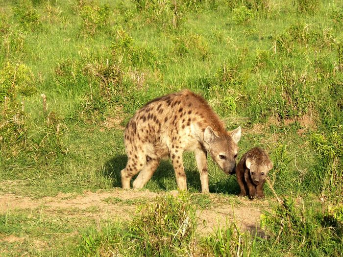 Hyena with cub - Hyäne mit Nachwuchs Anstupsen Gently Nudging Game Drive Procreation Offspring Brutpflegetrieb Aufzucht Des Nachwuchses Next Generation Green Mother And Child Mutterliebe Hyänen Junges Hyena Cub Hyena Hyäne Tüpfelhyäne Kenia Kenya Masai Mara National Reserve Safari Wilderness Area Animal Themes Animals In The Wild One Animal Animal Wildlife Day Grass Mammal Safari Animals Nature