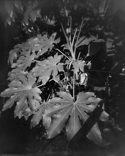 Growth Pinhole Pinhole Camera A Sunday walk with my camera, and hours in my homemade #darkroom with lots of #4x5 #blackandwhitephoto #film #ilford #nofilter #filmcamera #filmisnotdead #shanghaipark #selfportrait #largeformat #blackandwhite #shootfilmstaybroke #EyeEm #shanghaiexpat #largeformat #4x5photography #ilford400 outdoors no people nature tree China photos EyEmNewHere