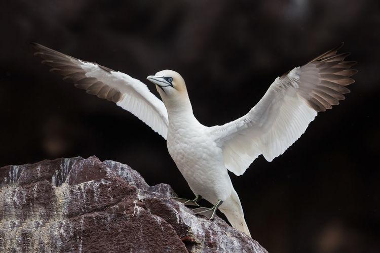 Northern gannet, bass rock colony, scotland