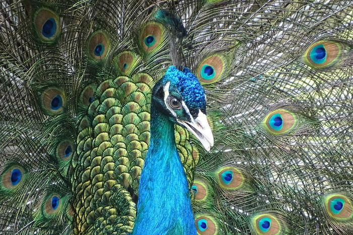 Pfau Animal Crest Animal Head  Animal Themes Animal Wildlife Animals In The Wild Beak Beauty In Nature Bird Close-up Day Fanned Out Feather  Full Frame Green Color Multi Colored Nature No People One Animal Outdoors Pav Pavo Peacock Peacock Feather 孔雀