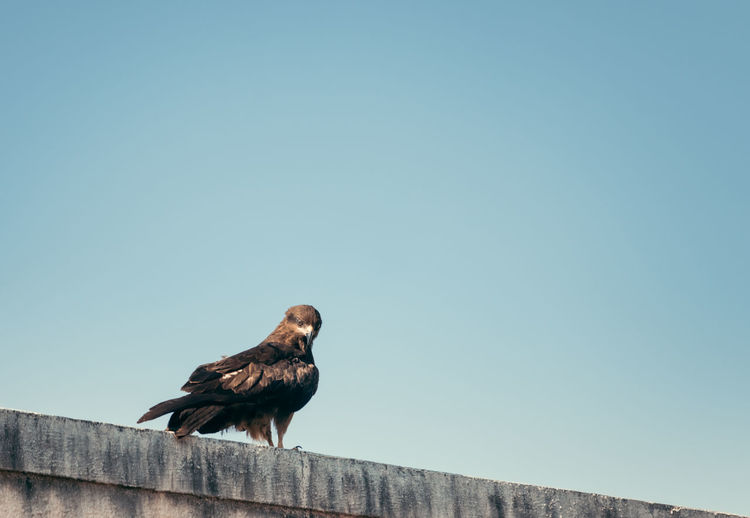 Black kite sitting on a building against the blue sky
