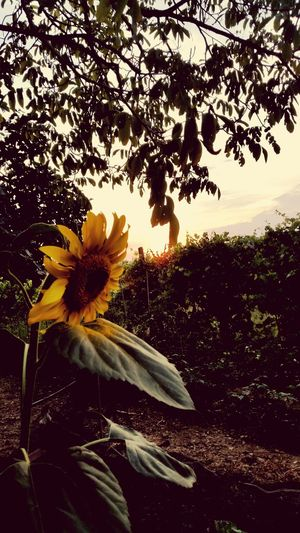 Solemnity Memories Of The Past Sun Farewell Flower Head Flower Tree Petal Sunflower Close-up Sky Plant Blooming In Bloom Blossom Plant Life EyeEmNewHere This Is Strength