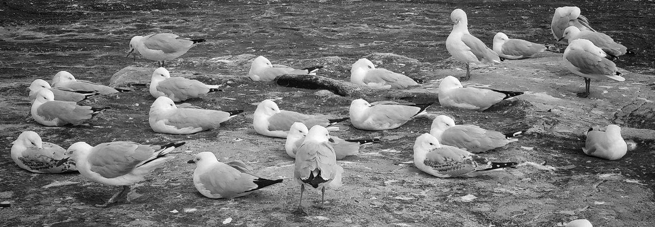 Birds Of The Sea Flock Of Birds Seagulls Summer Ocean Bird