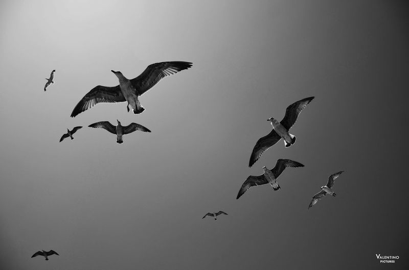#blackandwhite #bw #greece #seagulls #summer #thasos #travel Animal Wildlife Animals In The Wild Bird Day Flying Low Angle View No People Outdoors Spread Wings