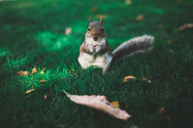 Squirrel friend Animal Animal Lover Animal Photography Animals Canon Colorful Eating Food Friend Furry Green Grass Holding Leaves London Nature Nature Photography Nuts Outdoors Outside Squirrel Squirrel Closeup Tail Vibrant Vibrant Colors Wildlife