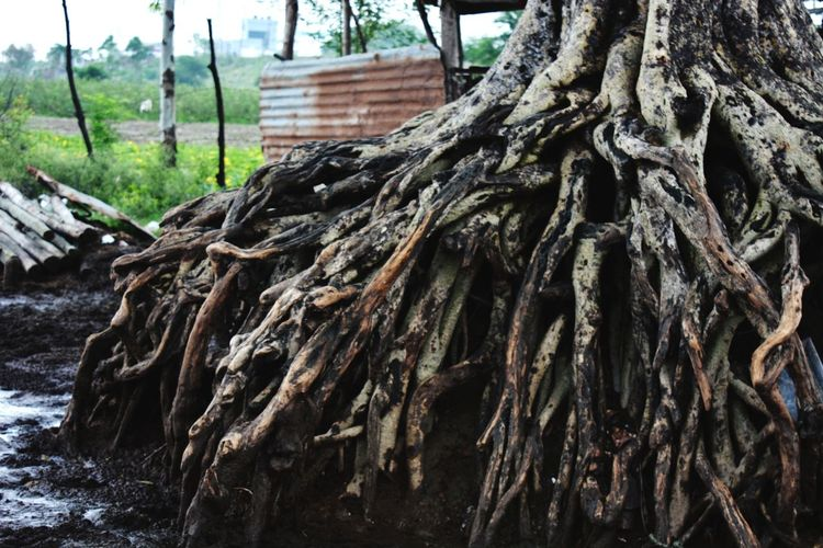 #bare#nature#EyeEmNewHere Bare Uprooted Tree Tree Trunk Close-up Root Soil Deforestation Lumber Industry Firewood