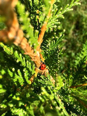 IPhone SE Green Thuya Thuja Beautiful Nature Katicabogár Sunny Bush Green Color Nature Photography Abda Hungary Maximum Closeness 100. Photo On Eyeem