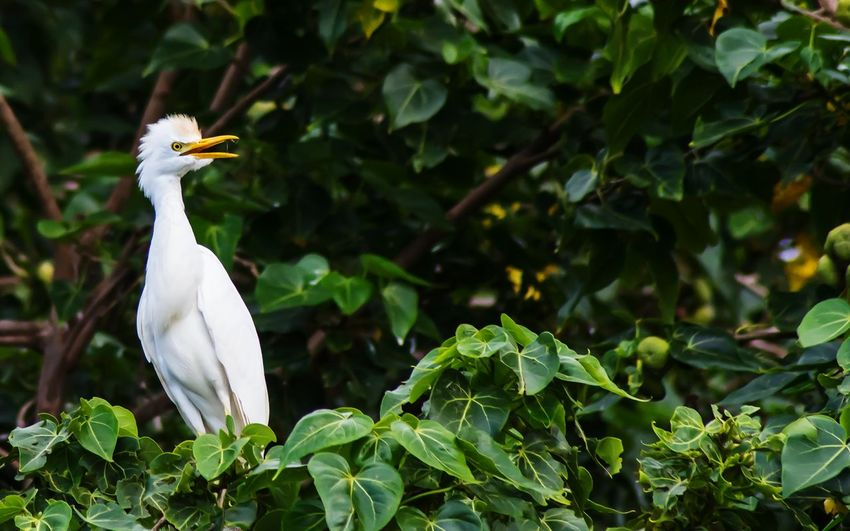 Low Angle View Of Cattle Egret Perching On Tree