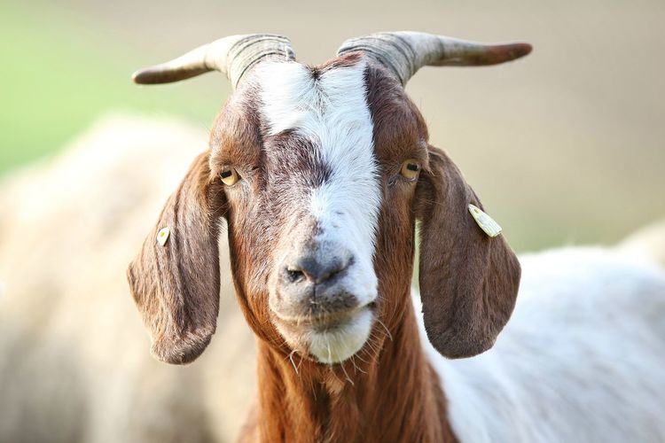 """Goat"" Domestic Animals Livestock Mammal Animal Themes One Animal Looking At Camera Portrait Goat Farm Farm Life Farm Animals Ziege Bauernhof Animal Tiere Michael Hruschka Https://www.facebook.com/mh.photography.de/ Ranch Life Portrait Photography Focus On Foreground No People Close-up Outdoors Day Nature"