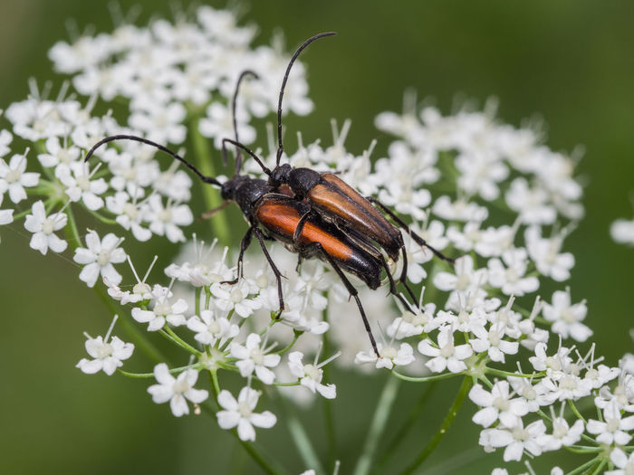 Longicorn Beetle Natural Animal Animal Themes Animal Wildlife Animals In The Wild Beetle Botanical Cerambycidae Close Up Day Fauna Flora Flower Flower Head Flowering Plant Insect Insects  Longicorn Nature Outside Plant Two Insects White Zoology