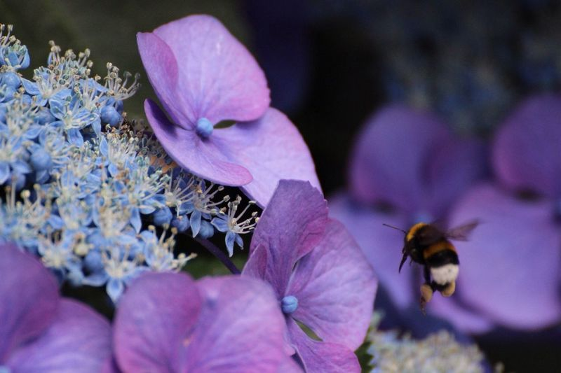 Close-Up Of Bee By Purple Hydrangeas Blooming Outdoors