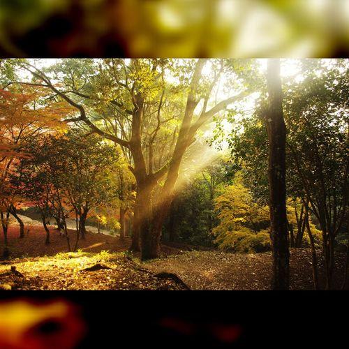 自然 紅葉 Nature Leafs 斜光 射光
