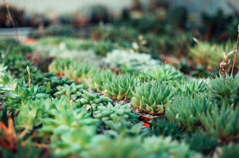 Aloe ostifolia is succulent herbaceous plant,species of the aloe genus of the asphodelaceae family.