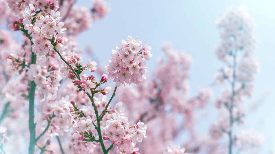 Close-up of cherry blossoms blooming on tree