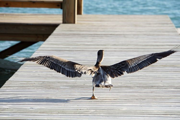 Rear view of seagull taking off from wooden pier