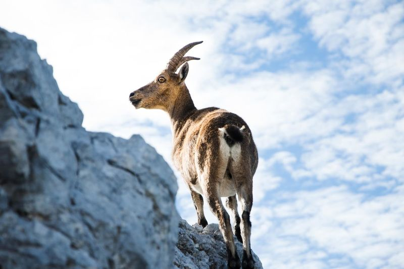 Low angle view of mountain goat standing against sky