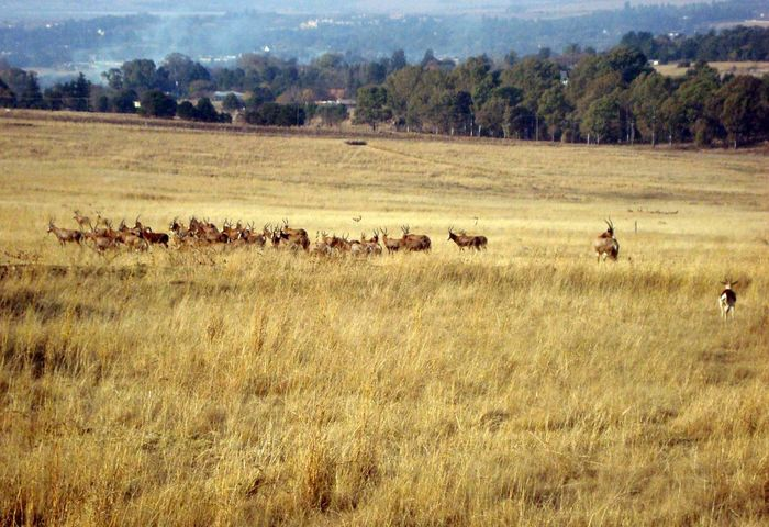Field Large Group Of Animals Landscape Nature Animal Themes Day Tree Grass Outdoors Growth No People Mammal Sky Antilopes Lion Park South Africa Johannesburg Guinu Lost In The Landscape