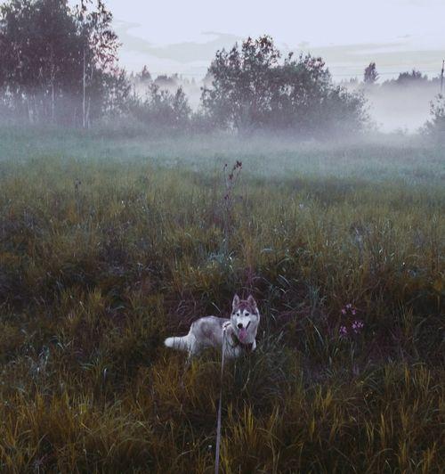 View of  grey siberian husky dog on foggy mist field