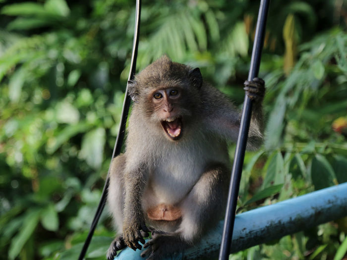 Portrait of monkey with mouth open sitting in forest