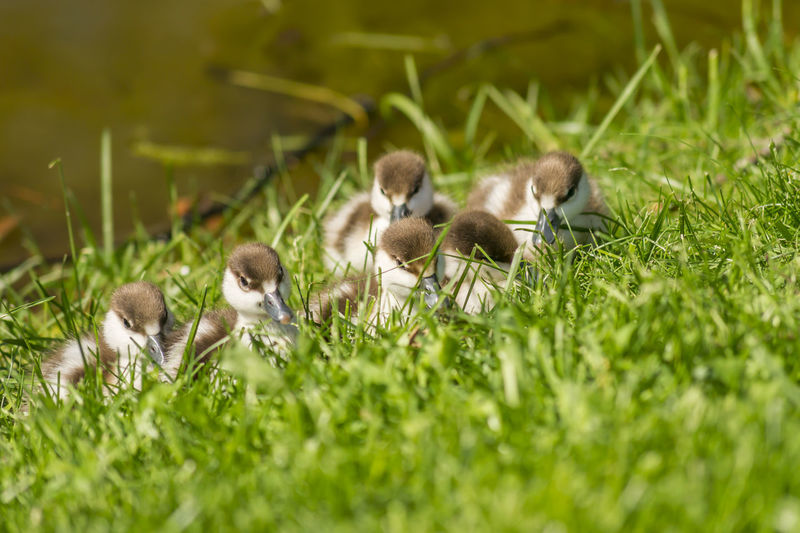 Duckling in the grass near pond