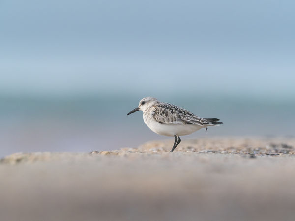 Helgoland Bird Birding Sanderling Animal Animal Themes Animal Wildlife One Animal Animals In The Wild Vertebrate Sea Water Beach Land Day Nature Selective Focus No People Full Length Seagull Side View Perching Outdoors Profile View