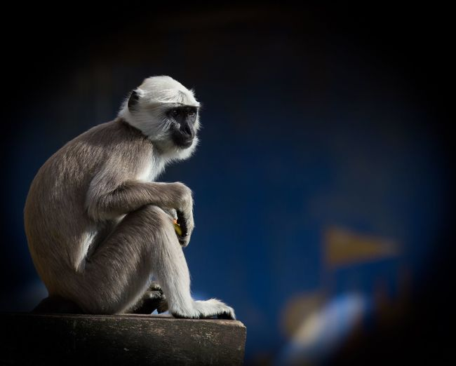 Langur relaxing on wall