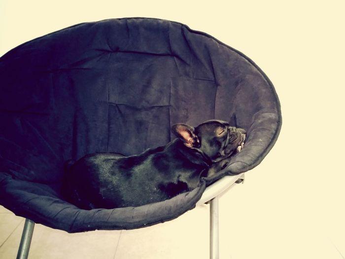 Tired pug sleeping curled on chair