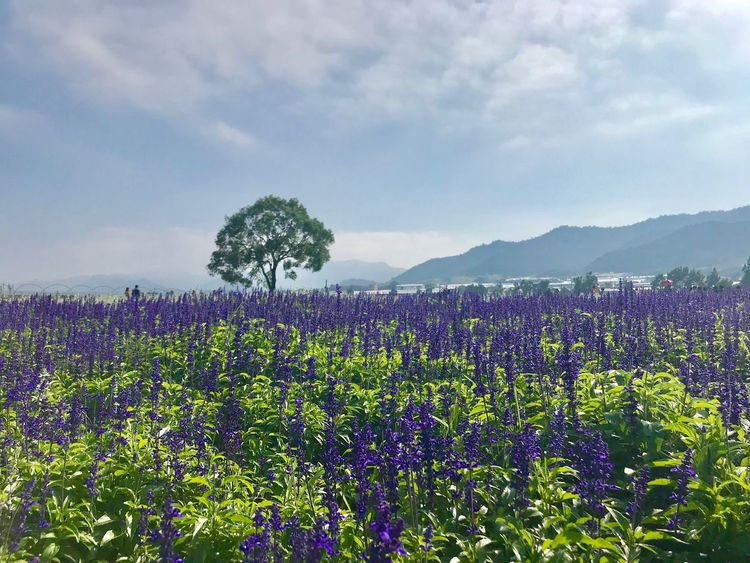 Beauty In Nature Nature Growth Flower Field Plant Tranquility Tranquil Scene Scenics Sky Agriculture Landscape Day Rural Scene No People Purple Fragility Outdoors Cloud - Sky Freshness EyeEmNewHere