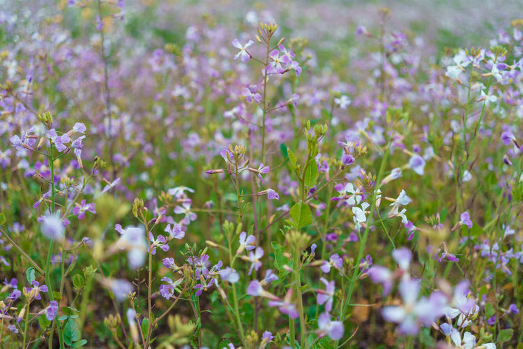 Growth Plant Nature Day Land No People Beauty In Nature Field Outdoors Freshness Flowering Plant Flower Fragility Vulnerability  Selective Focus Purple Close-up Petal Lavender Tranquility Flower Head