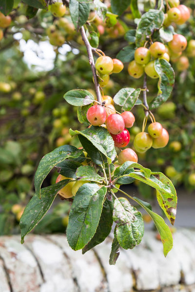 Crab Apples Autumn Red Shallow Depth Of Field Beauty In Nature Blurry Background Branch Close-up Crab Apples Crabapples Day Focus On Foreground Food Food And Drink Freshness Fruit Green Color Growth Hanging Down Leaf Nature No People Outdoors Plant Tree Vertical