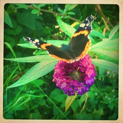 Butterfly Butterflies Flowers Schmetterling