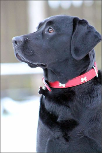 Dog Pets One Animal Domestic Animals Animal Themes Labrador Retriever Close-up Puppy LabradorRetriever Blacklab Blacklabrador Labrador Labradors Portrait